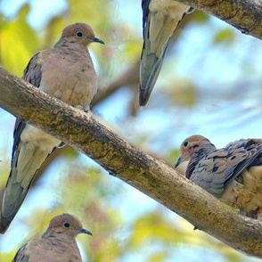 Mourning Doves, Large