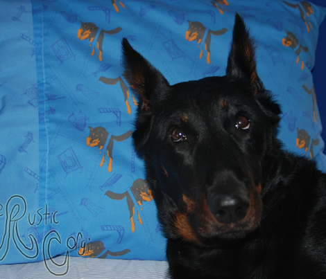 Agility Beaucerons - blue