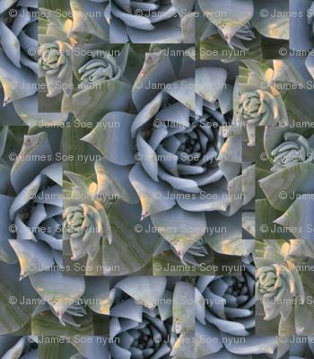 Chalk dudleya-Big print, natural