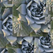 Dudleya_pulverulenta_color-flattened_more_saturated_shop_thumb