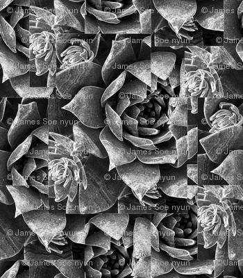 Chalk dudleya-Big print, graphic and gray