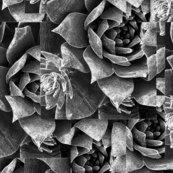 Dudleya_pulverulenta_stacked-grays_shop_thumb