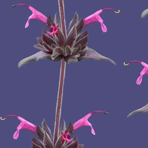 Hummingbird Sage on Purple