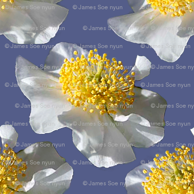 California Bush Anemone-Modern on Periwinkle