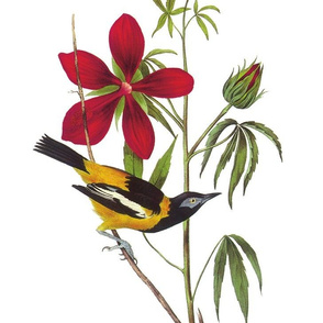 Audubon Troupial Male Birds of America Bird