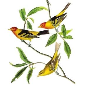 Audubon Bird Yellow Tanager