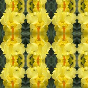 soft yellow iris