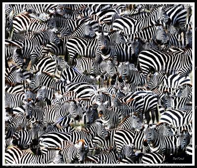 Zebra on migration