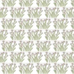 lots_of_vanilla_daisies