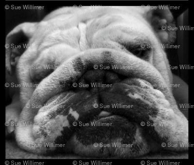 """The British Bulldog """"Trevor"""""""
