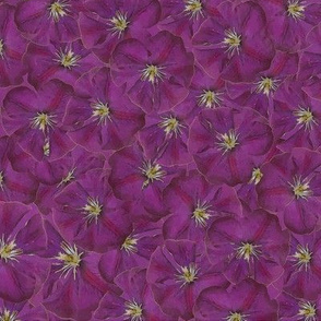 Purple Clematis on Mauve