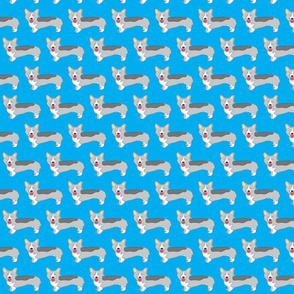 corgi dogs on bright blue