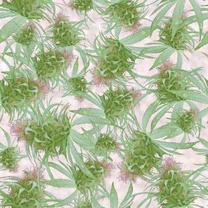 Cannabis Pink Bud (2)