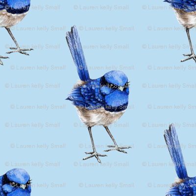 Splendid Fairy Wren on Light Blue