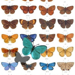 Papilio ~ White