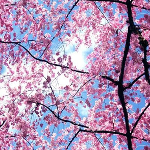 Pink Japanese Cherry Blossom Sakura with Branches Photo