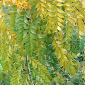 fall leaves curtain