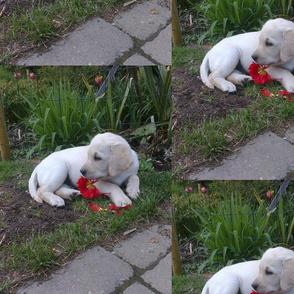 "Yellow lab puppy ""Mayo"""