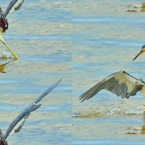 Dancing Bird - Tricolored Heron -  Live Wildlife Shot