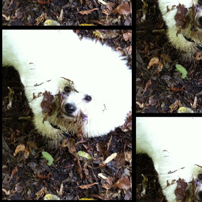 Fidget dirty face Bichon