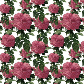 Redoute' Rose ~ Riot of Pink