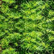 Rmarijuana-field_-_version_2_shop_thumb