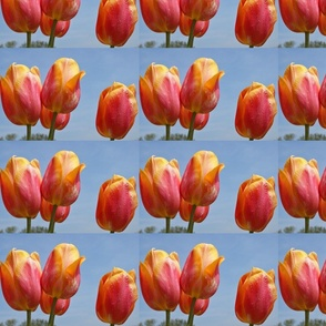 tulip_yellow_pink