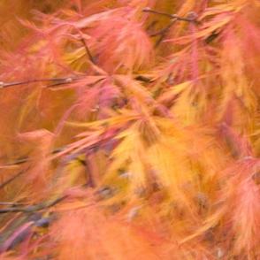 japanese maple breeze
