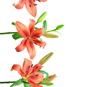 Lily border (white)