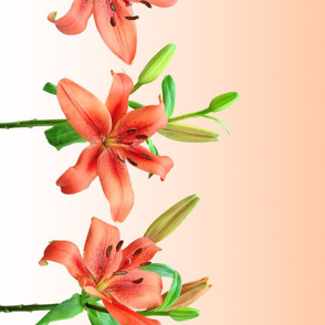 Lily border (gradient)