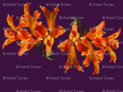 Alstromeria Tango