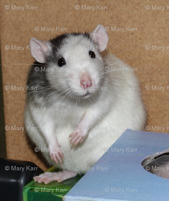 Curious Rattie