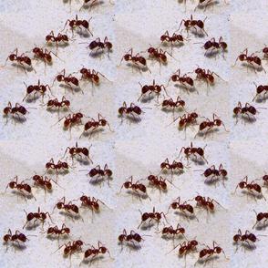 Florida Harvester Ants