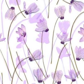 Flowering #7 Cyclamen