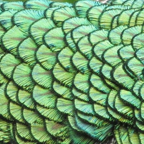 Wandering Peacock