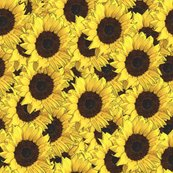 Sunflowers_are_us_shop_thumb