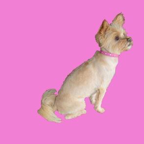 christa maltese chihuahua