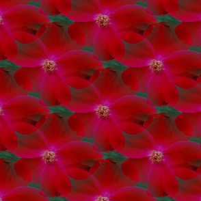 Seamless Red Carefree Rose