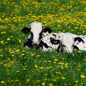 cows and dandelions