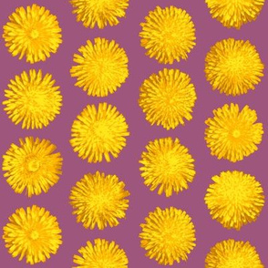 dandelions on red-violet
