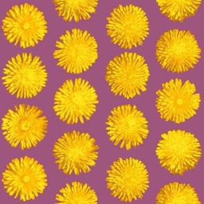dandelions on red-violet