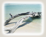 Driftwood_on_bahia_honda_beach_for_fabric_w_brown_thumb