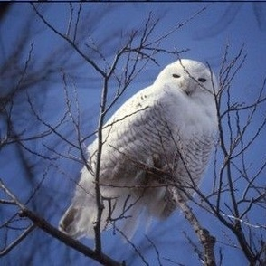 Snowy_Owl-8000x6250-sm