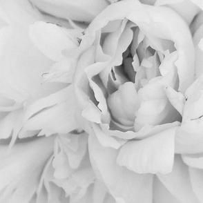 b_and_w_rose_close_up