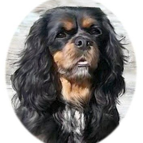 Fanni the King Charles spaniel