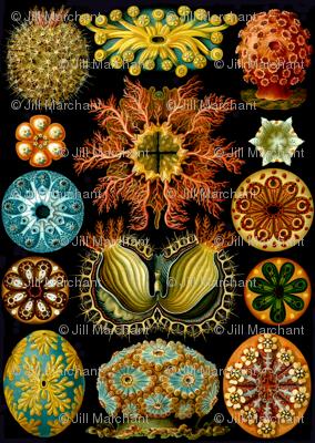 Large_Haeckel_Ascidiae