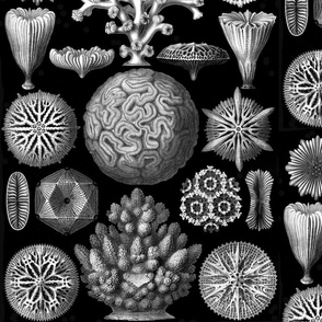 Large_Haeckel_Hexacoralla