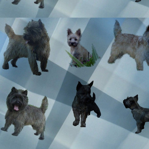 Cairn Terriers   Blue