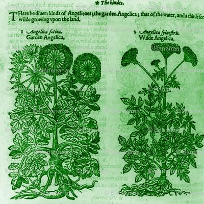 Garden Angelica And Wild Angelica