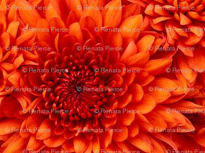 Rchrysanthemum_preview